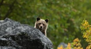 CANADIAN GRIZZLY (THE)