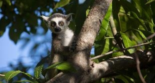 LEMUR OF MADAGASCAR (THE)
