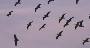 47 - MIGRATION LESSONS FOR THE NORTHERN BALD IBIS
