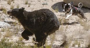 229 - THE BEAR HUNTING DOGS OF NEVADA