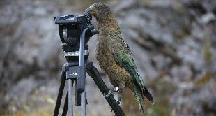 KEA PARROT OF NEW ZEALAND (THE)