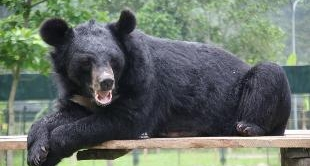 239 - VIETNAM, RESCUING THE LAST ASIATIC BLACK BEARS