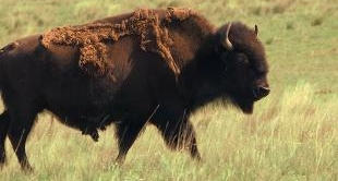 46 - BLACKFEET AND BISON