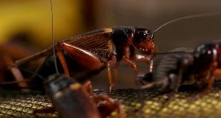 13 - INNOVATION ON BOARD - INSECTS: THE FOOD OF TOMORROW (THAILAND)