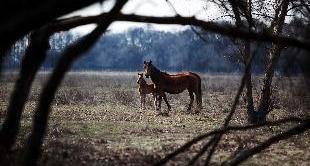 78 - WILD HORSES IN THE DANUBE DELTA