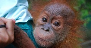 27 - HOPE FOR THE LAST ORANGUTANS