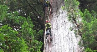 194 - THE TREE-CLIMBERS FROM CALIFORNIA